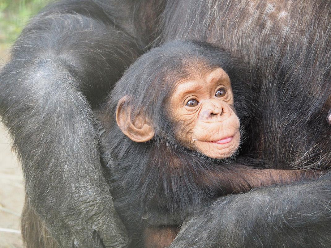 chimpanze-mere-bebe-13