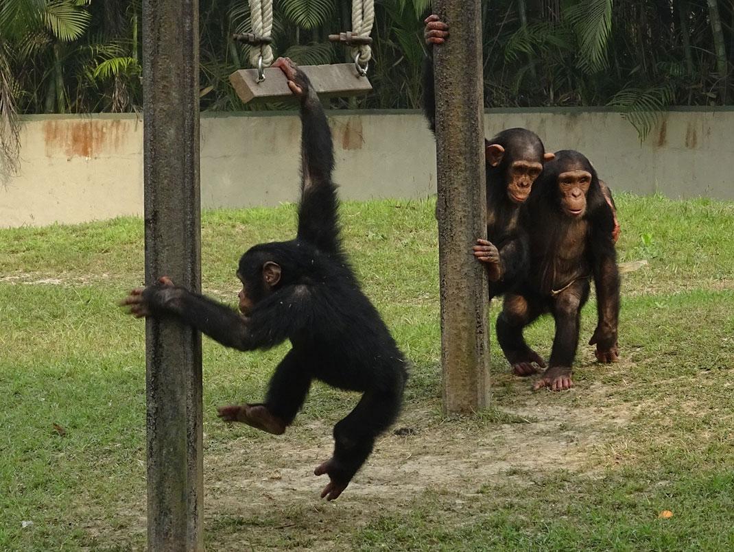 chimpanze-singe-primate-14