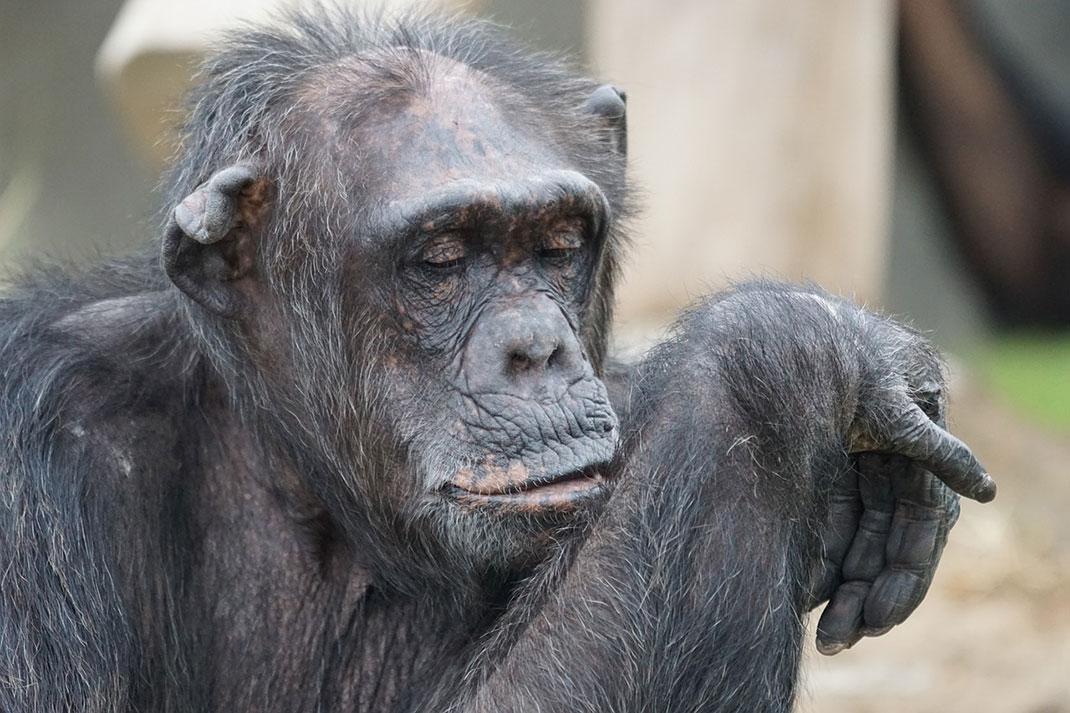 chimpanzee-singe-primate-12