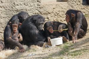 chimpanzes-primates-singes-repos-11