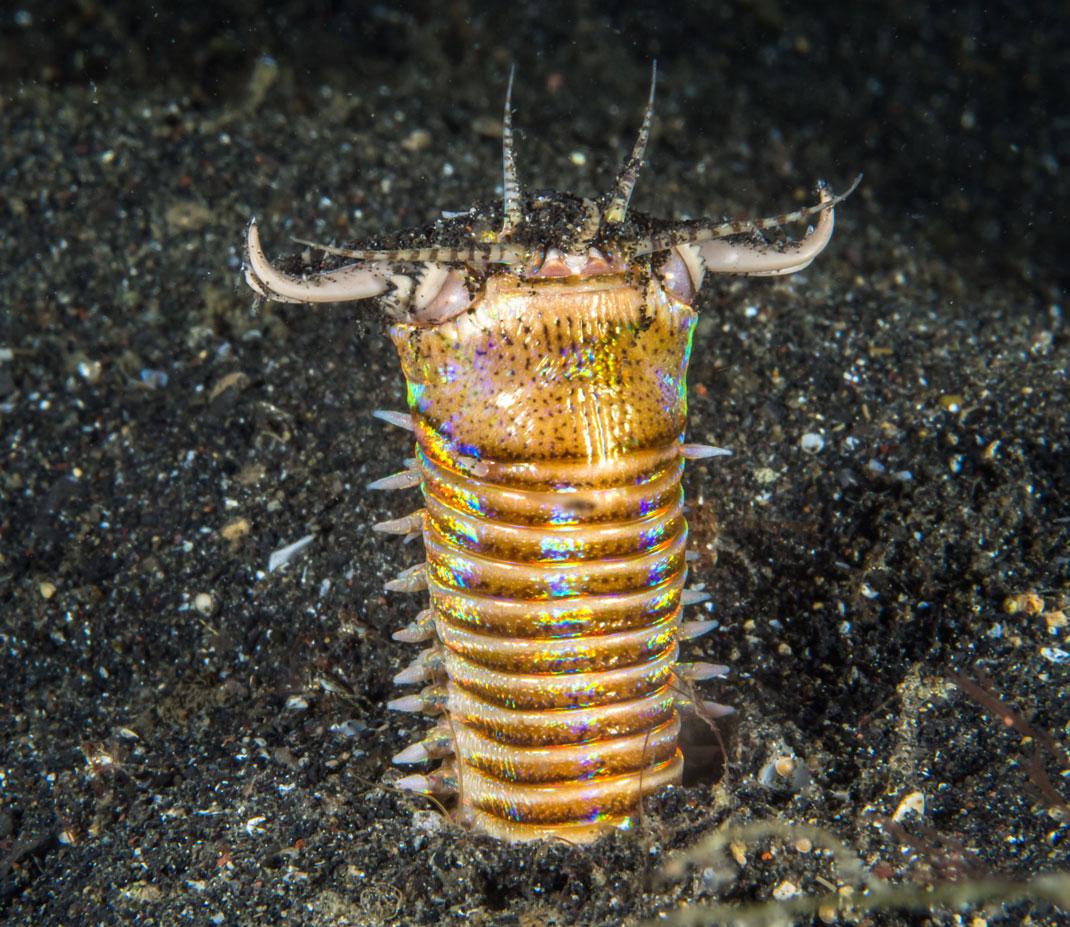 eunice-aphroditois-ver-marin-1