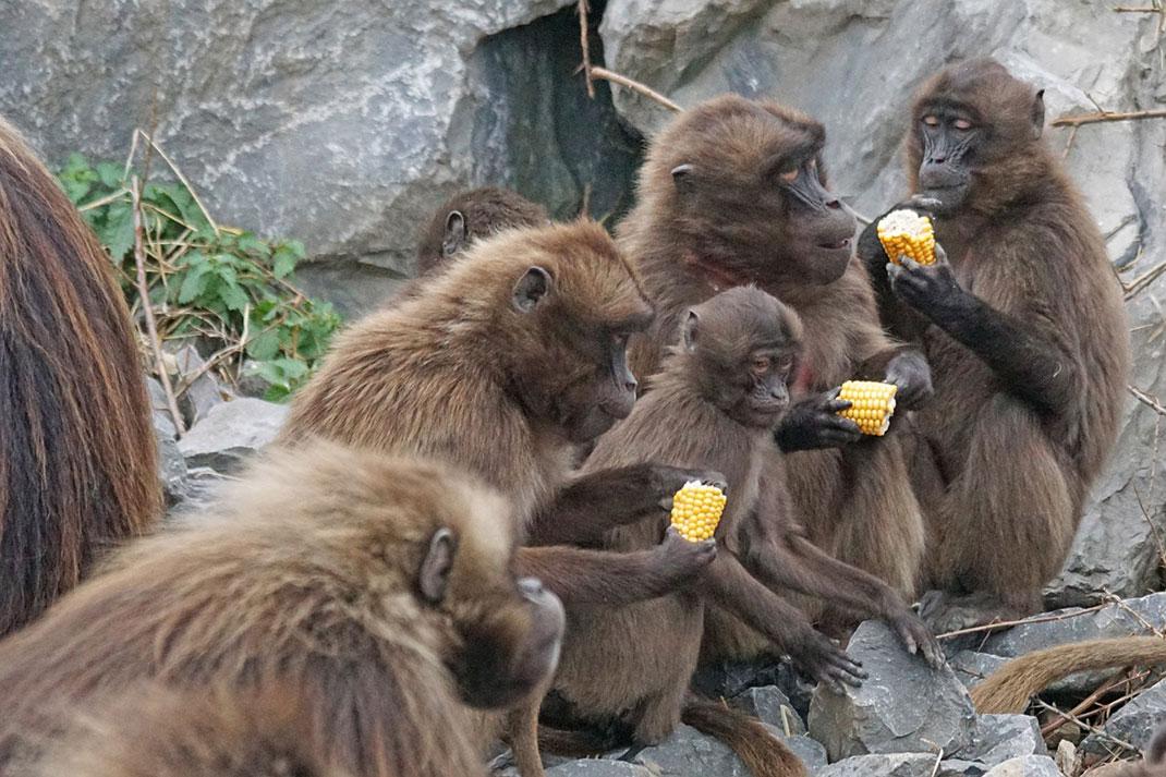 famille-singes-primates-20