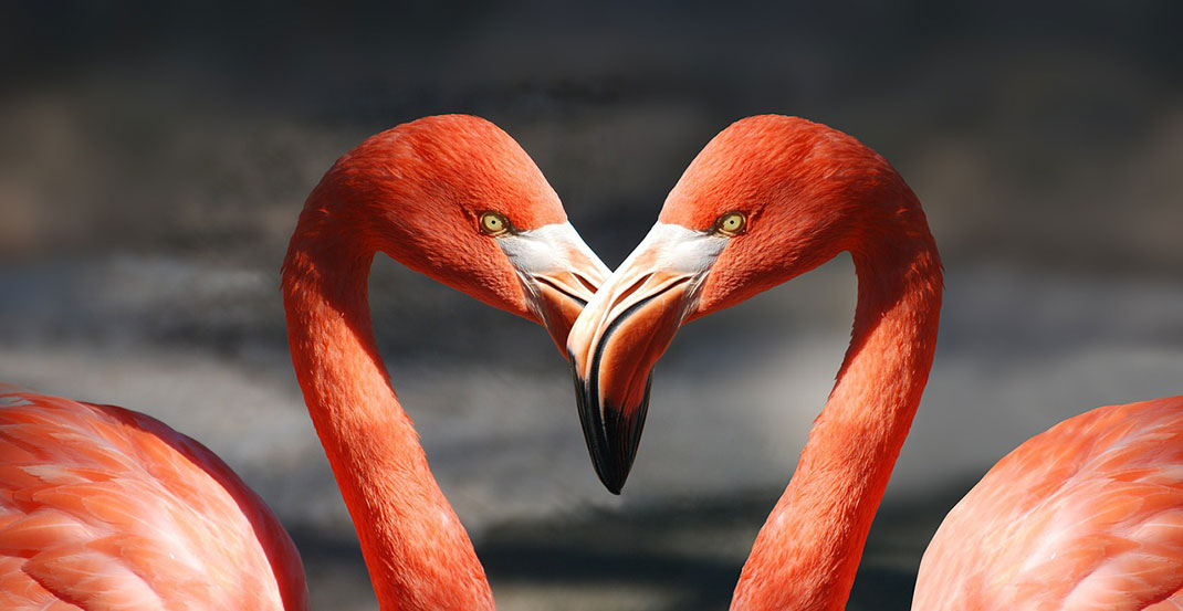 flamants-roses-amour-9