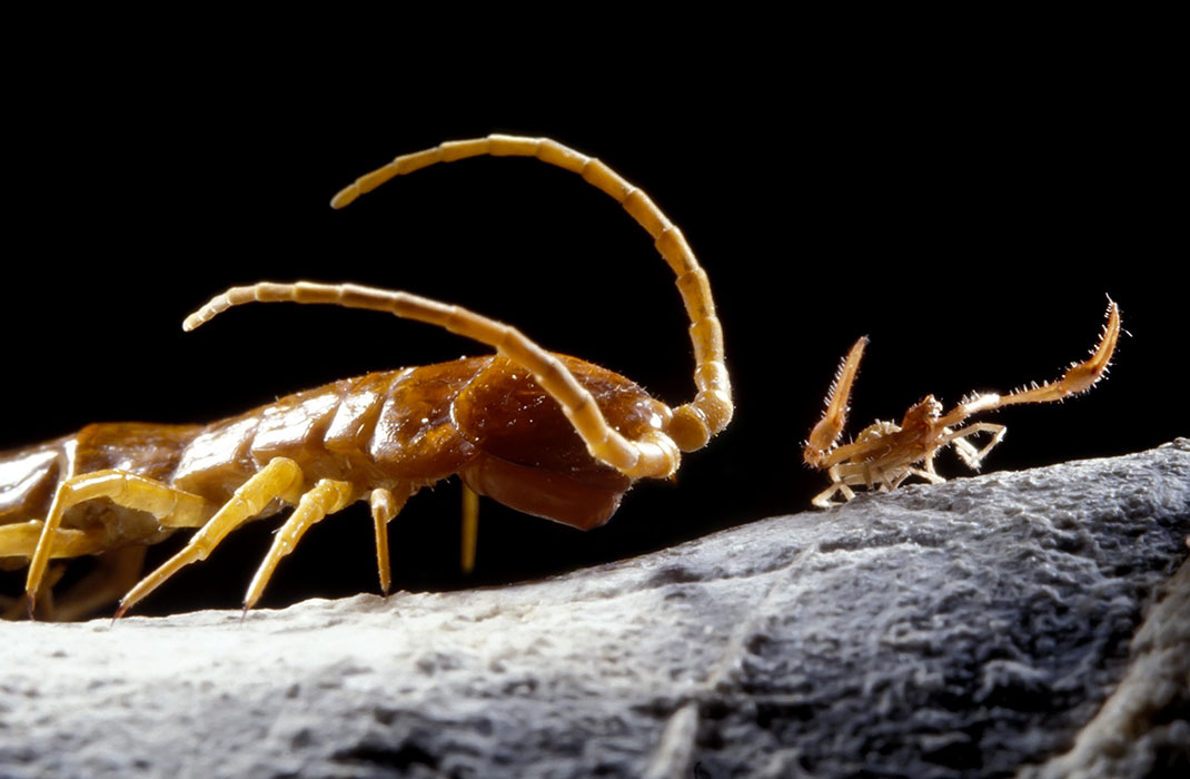 Un centipède et un pseudoscorpion, des espèces endémiques de la grotte de Movile