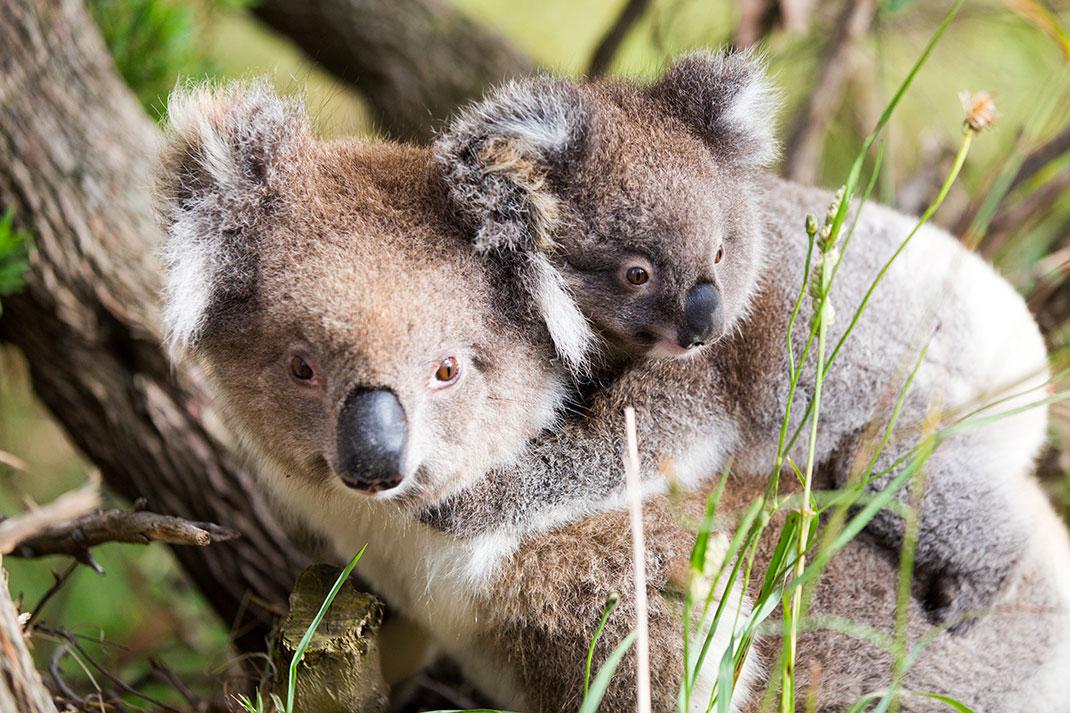 koala-bebe