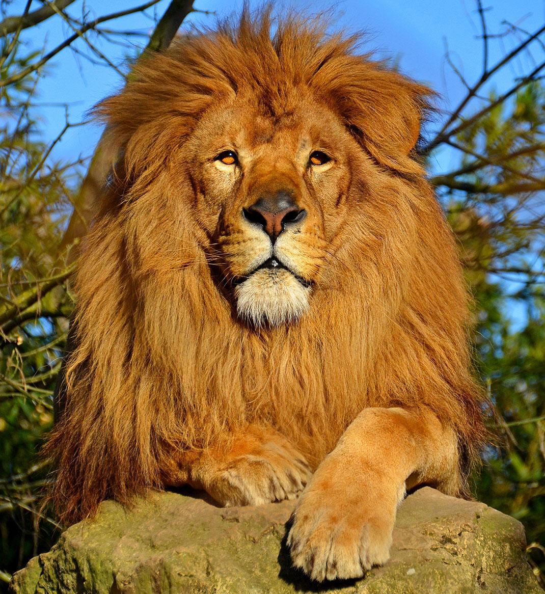 D couvrez le syst me social des lions les seuls f lins s organiser en groupe daily geek show - Patte de lion ...