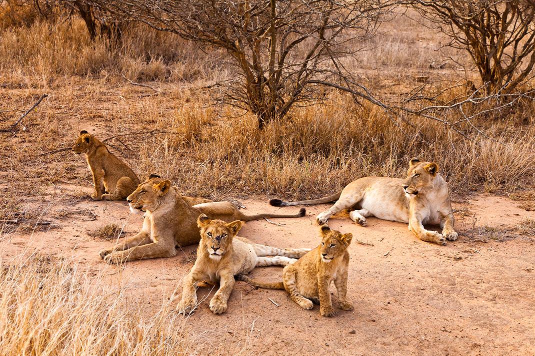 Le lion est l'unique félin qui évolue en groupe via Shutterstock