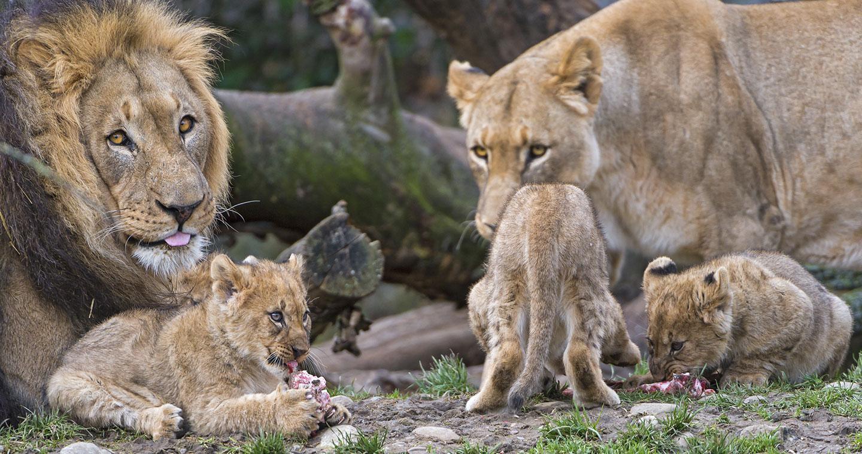 lion-famille