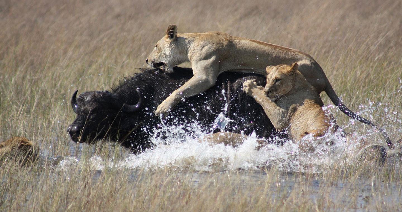 lionnes-chasse