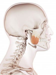 Illustration du muscle masseter via Shutterstock