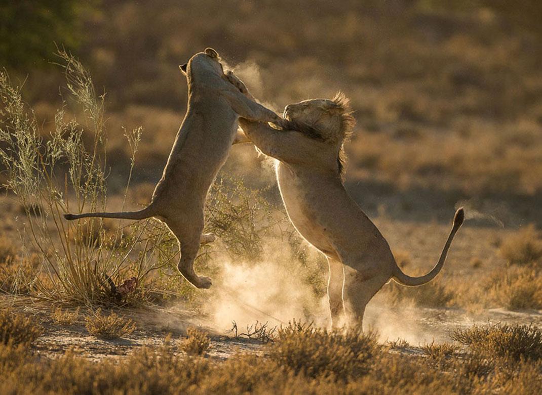 Moment de choc de Jaco Marx, au Kgalagadi Transfrontier Park, Afrique du Sud