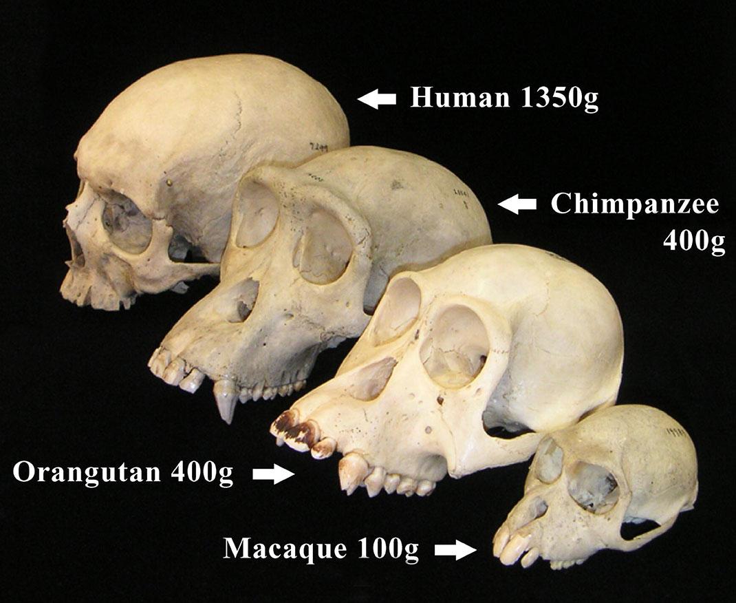 primates-cerveau-amour-20