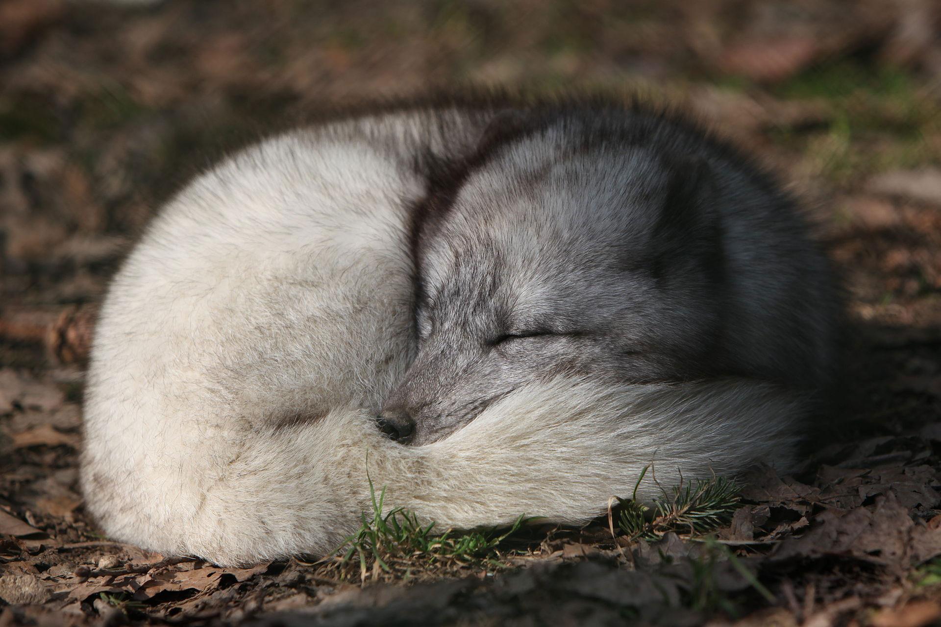 renard-polaire-1