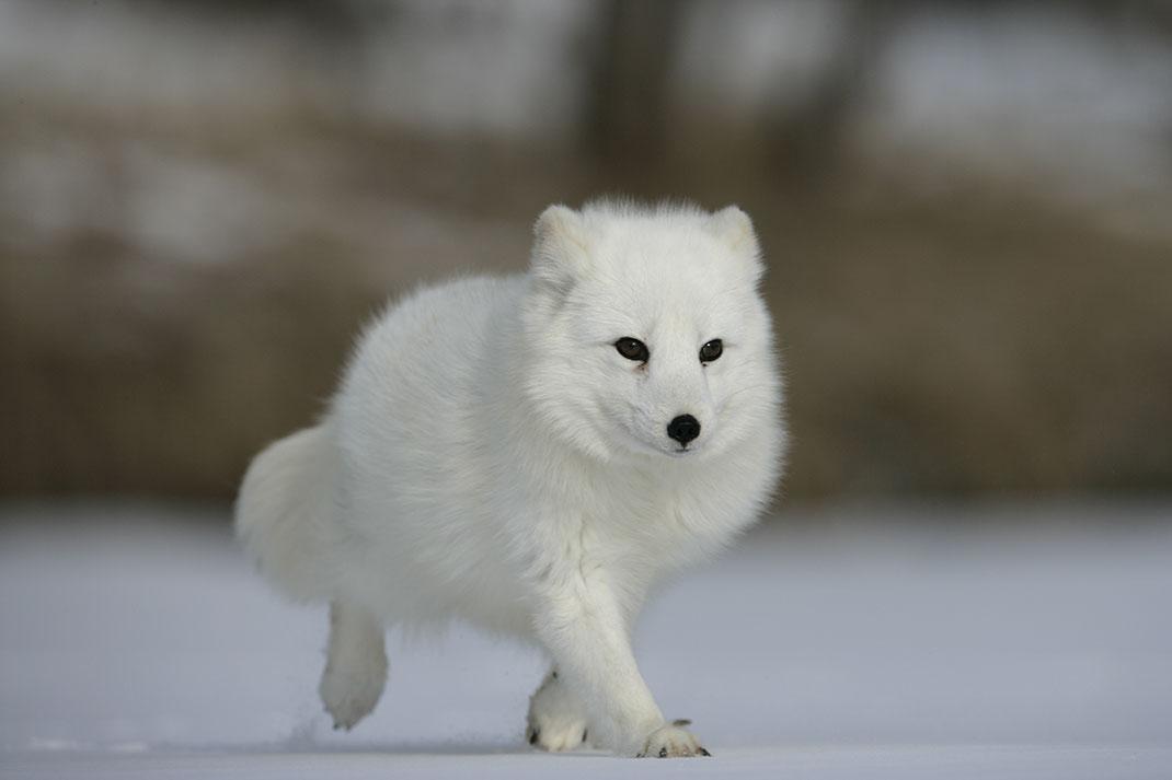 Un petit renard blanc via Shutterstock