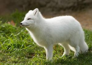 Un adorable renard polaire via Shutterstock