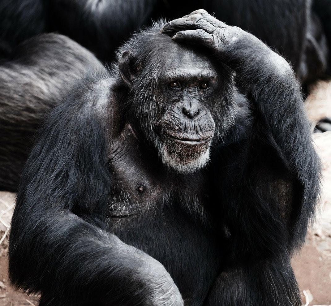singe-noir-primate-10