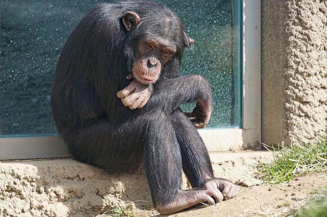 singe-primate-pensif-22