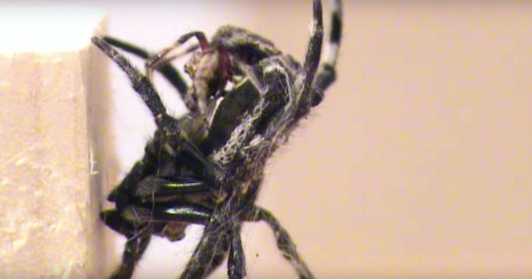 une-araignees-darwin