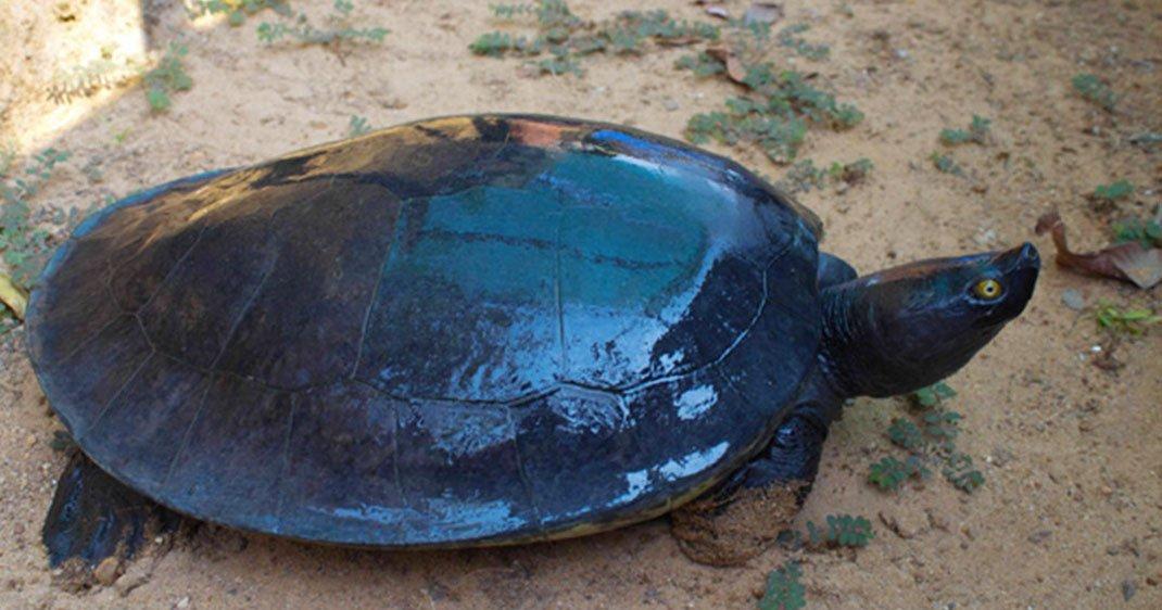 une-tortue-cambodge