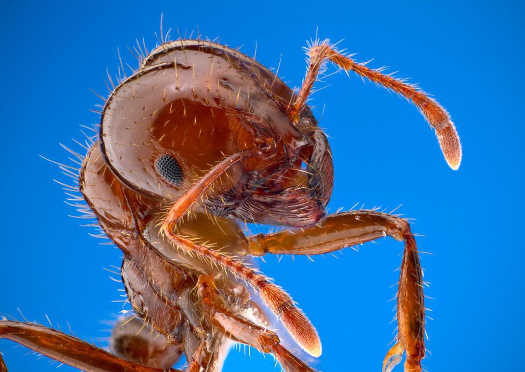 1-fourmi-de-feu