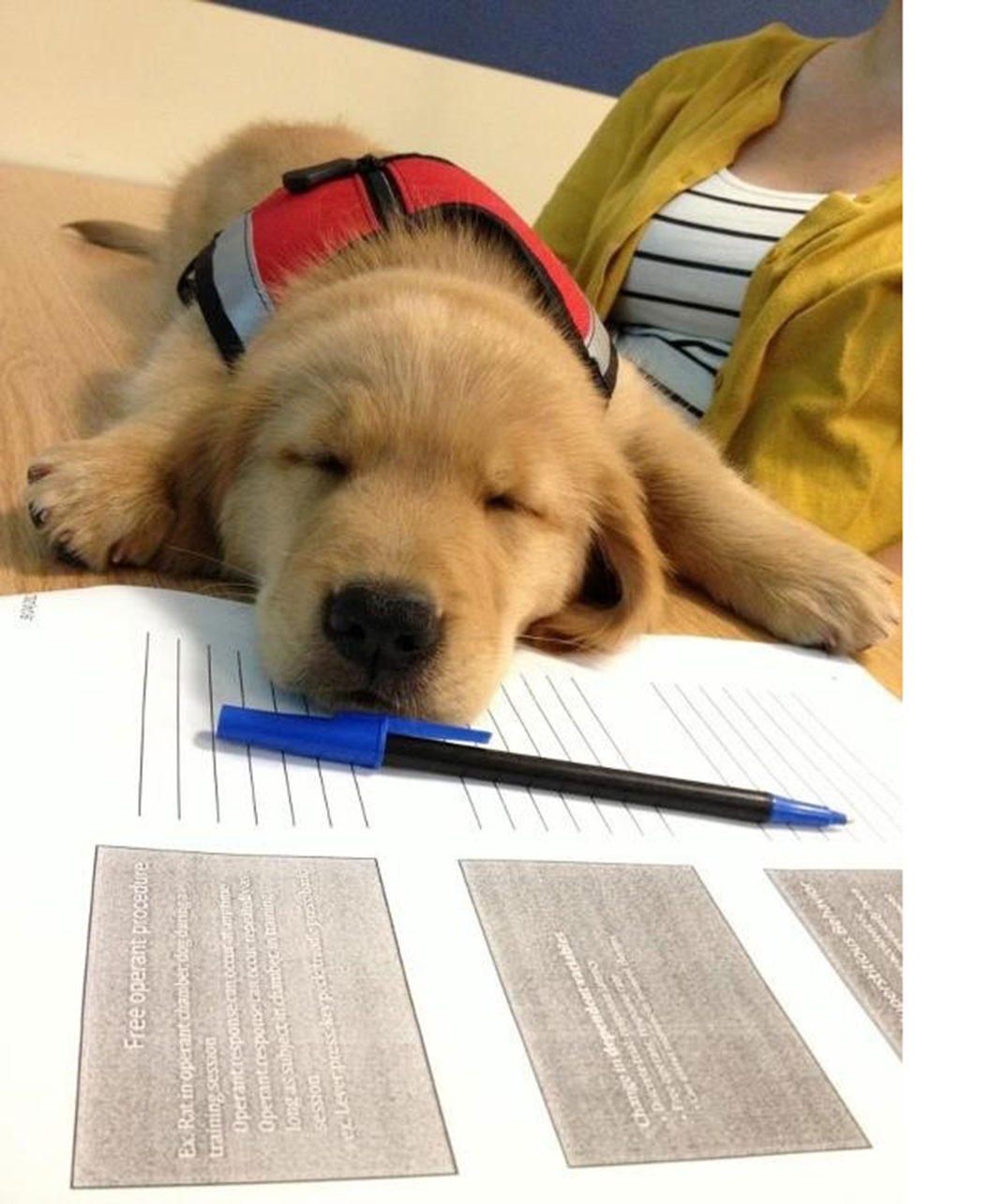 Un chien d'assistance