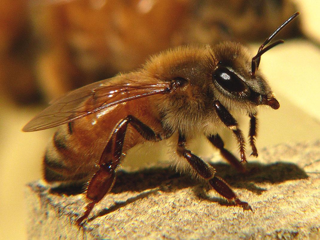 6-abeille-miel