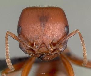 7-fourmi-rouge-moissonneuse