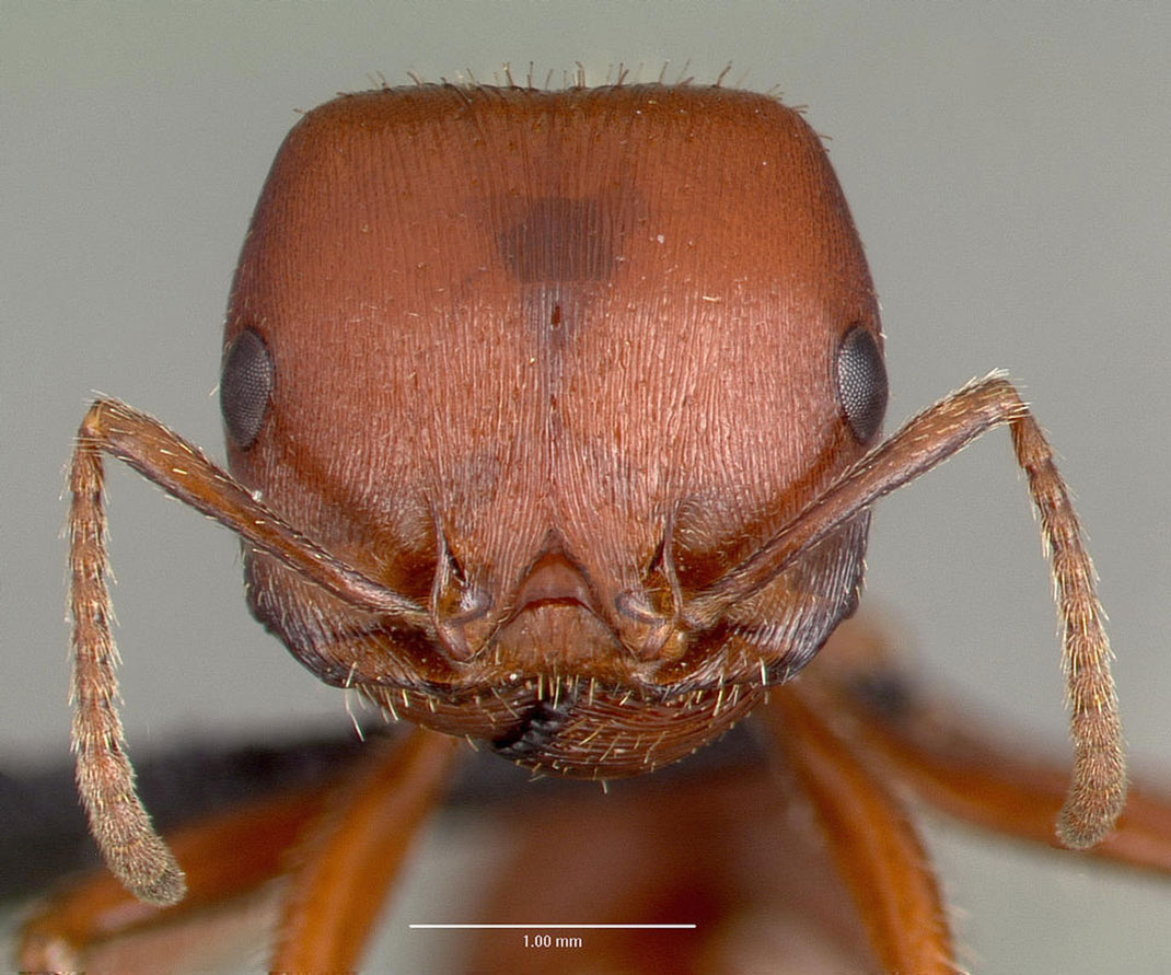Voici les 11 piq res d insectes les plus douloureuses au monde daily geek show - Fourmi rouge et tamanoir ...