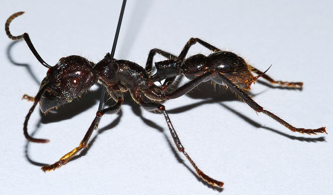9-fourmi-balle-de-fusil
