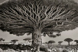 Ancien-arbre-1