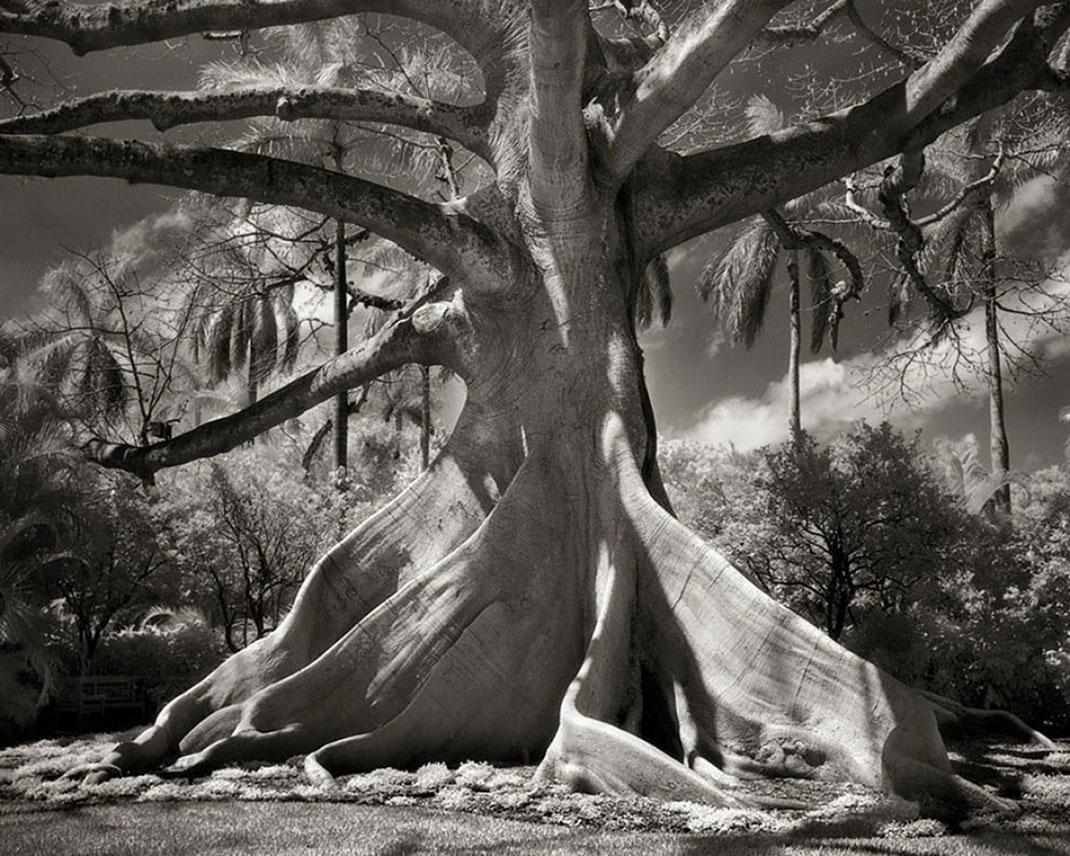 Ancien-arbre-3