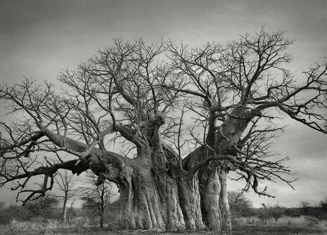 Ancien-arbre-4