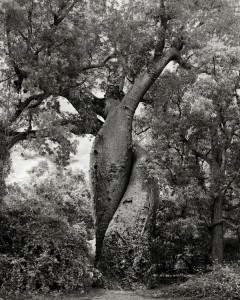 Ancien-arbre-5
