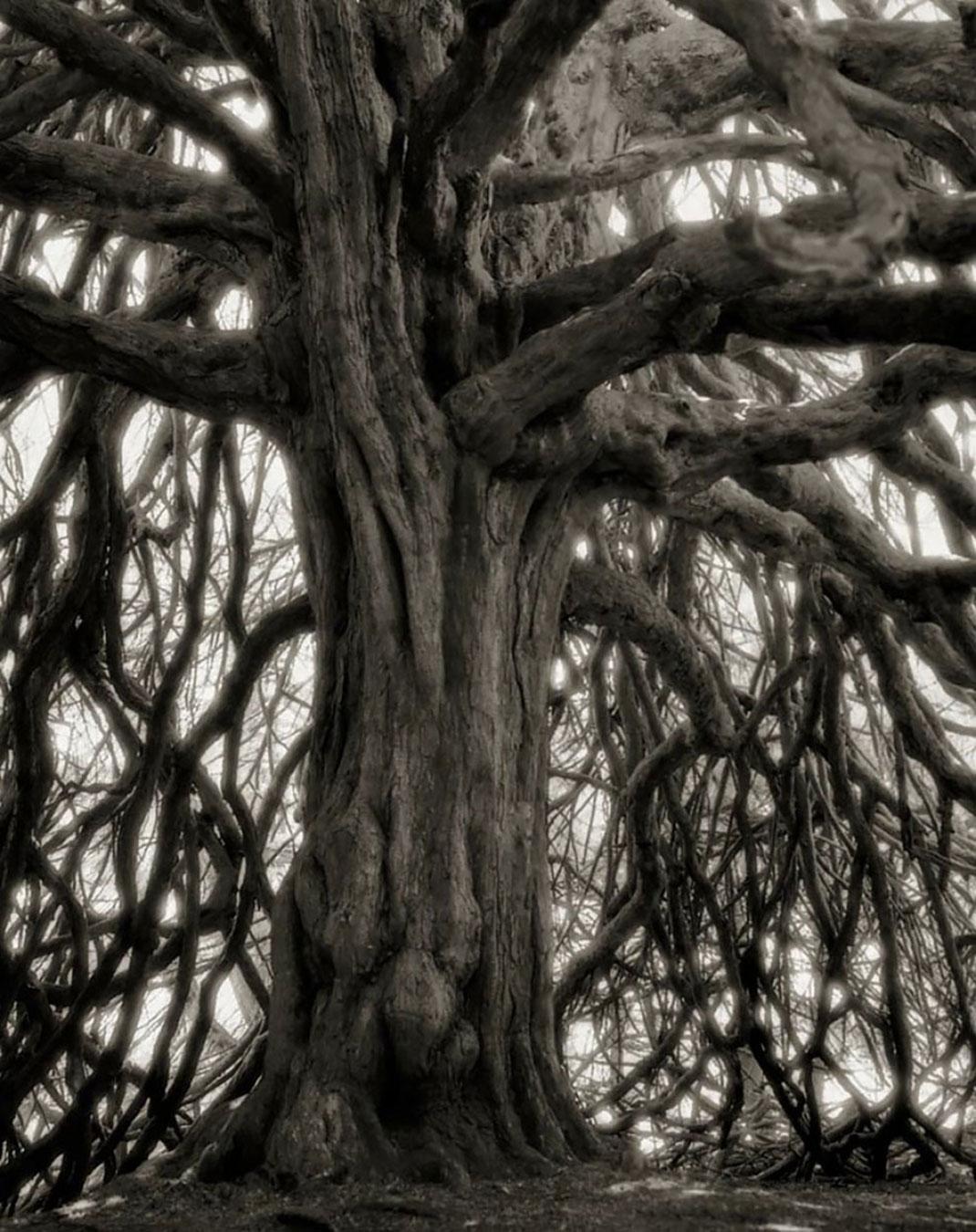 Ancien-arbre-7