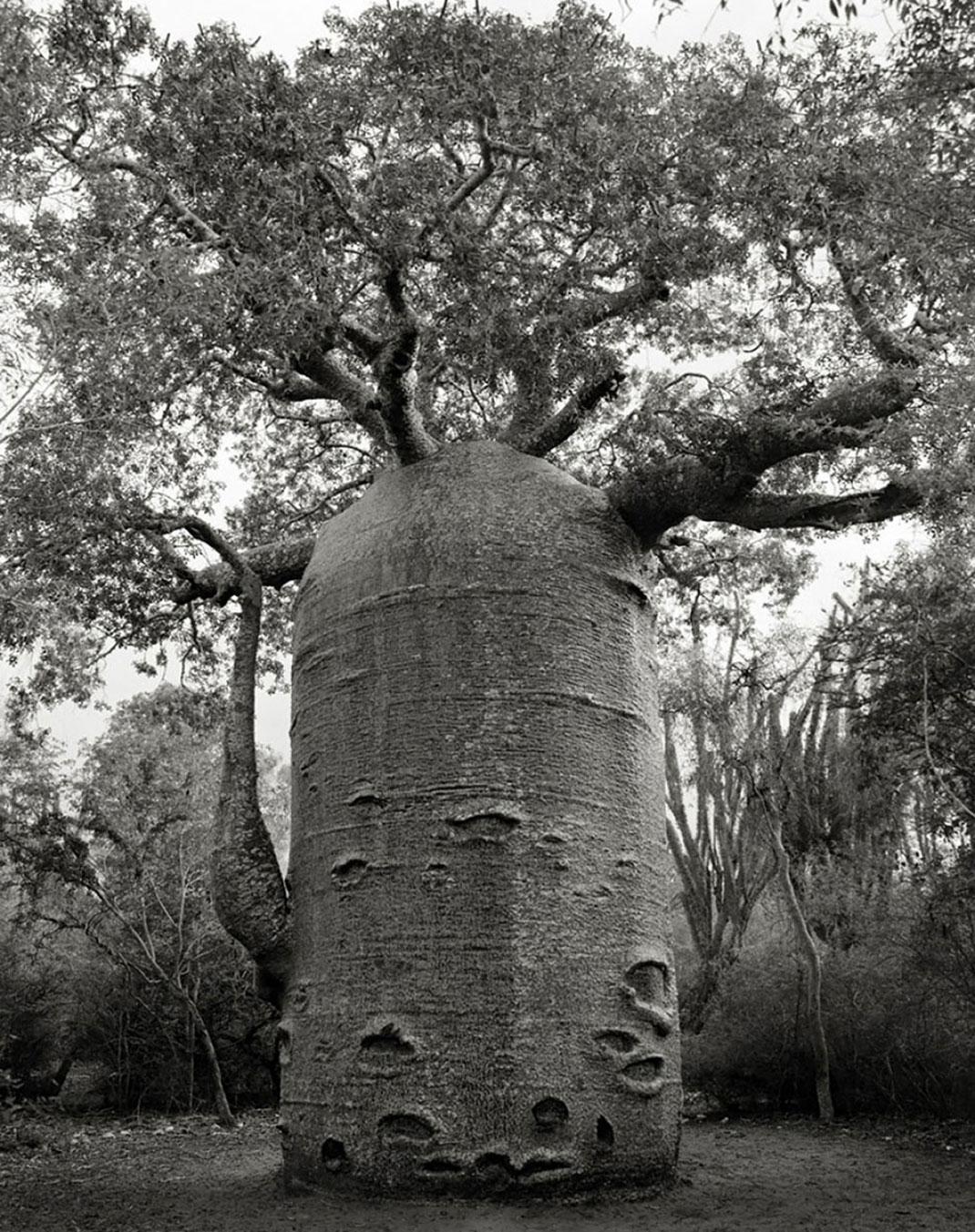 Ancien-arbre-8