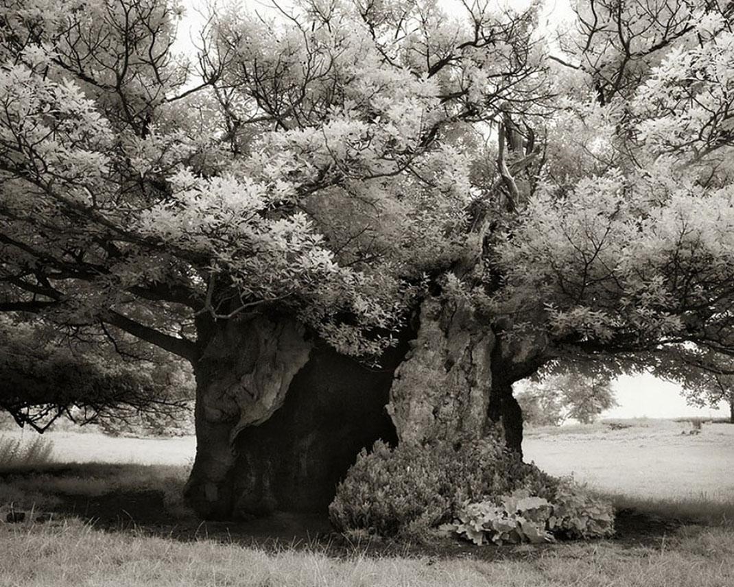 Ancien-arbre-9