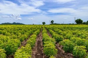 Un champ de manioc via Shutterstock