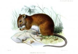Melomys Rufescens