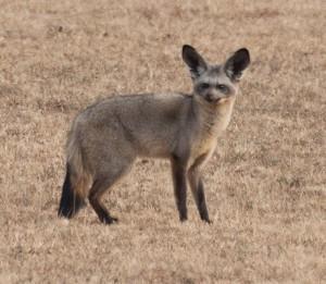 Renard-oreilles-de-chauve-souris