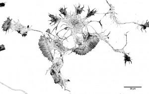Neurones de souris