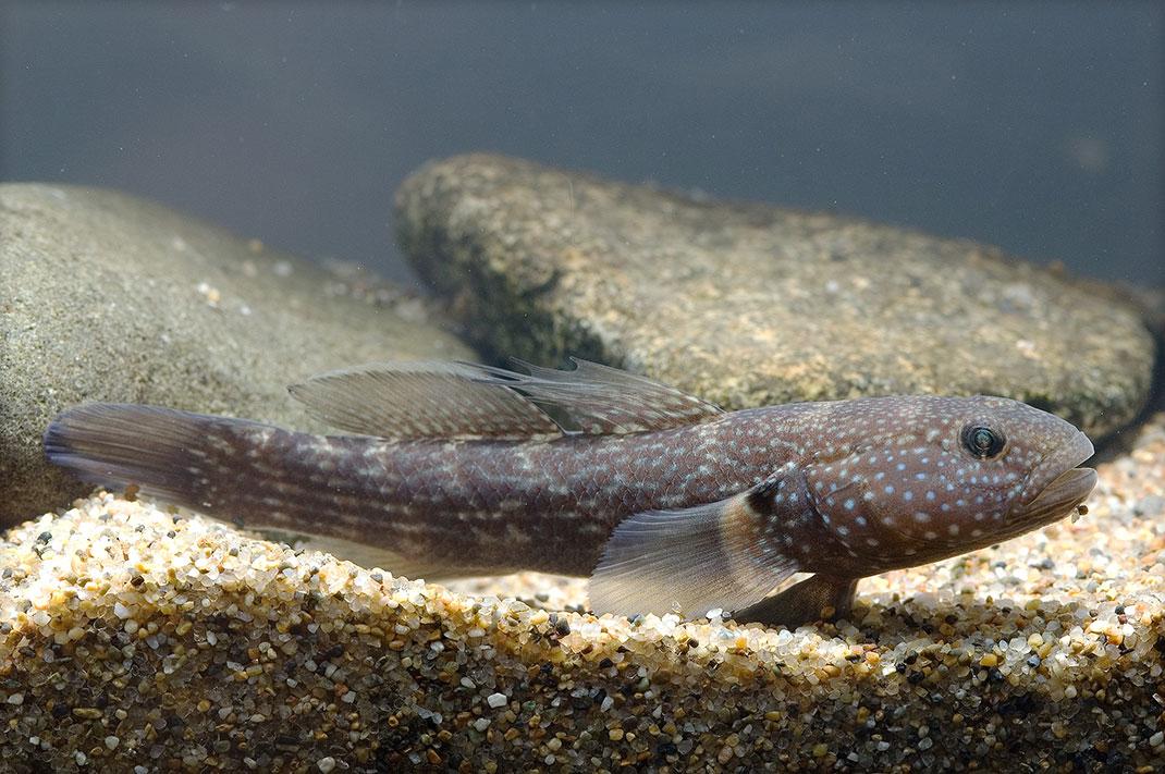 Sicyopterus-stimpsoni-