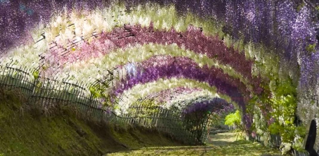 Tunnel-Wisteria-4