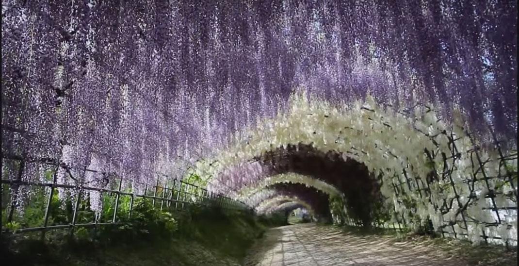 Tunnel-Wisteria-6