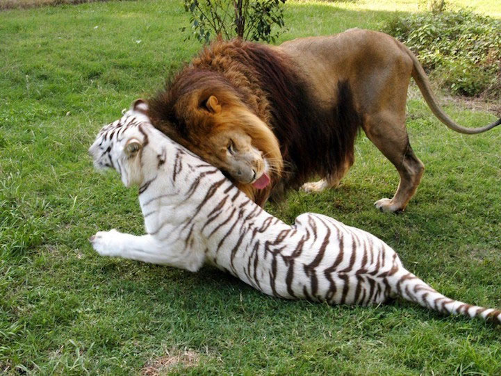 amitie-tigre-lion-2