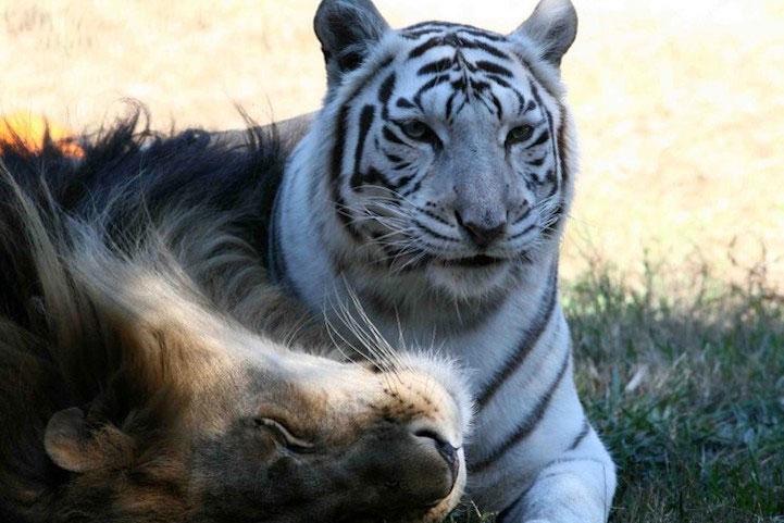 amitie-tigre-lion-4