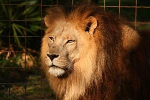 amitie-tigre-lion-6