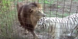 amitie-tigre-lion-7