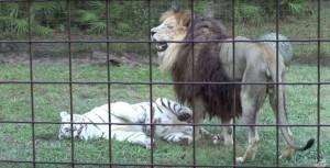 amitie-tigre-lion-8