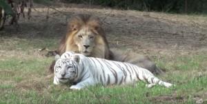 amitie-tigre-lion-9