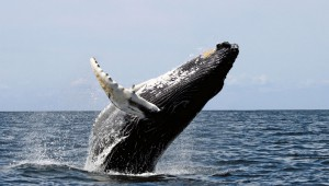 baleine-bosse